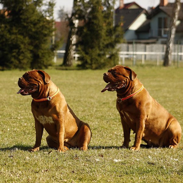 Bordeaux Mastiff dog